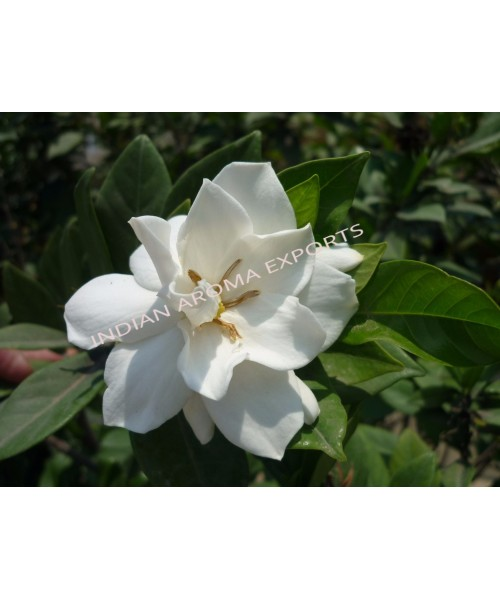 Gardenia Absolute Oil